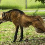 grivistyj volk 150x150 Самые красивые собачьи