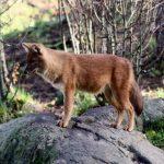 krasnyj gornyj volk 150x150 Самые красивые собачьи