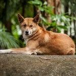 sobaka dingo 150x150 Самые красивые собачьи