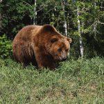 Кавказский бурый медведь 150x150 пейзажи Кавказского заповедника