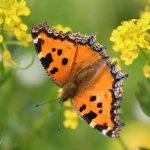 Многоцветница обыкновенная 150x150 Бабочки Кавказского заповедника
