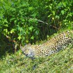 Переднеазиатский леопард 150x150 пейзажи Кавказского заповедника