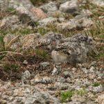 Птенцы улара 150x150 пейзажи Кавказского заповедника