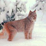 Рысь 150x150 пейзажи Кавказского заповедника