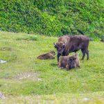 Семья зубров 150x150 пейзажи Кавказского заповедника