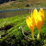 Шафран Шарояна 150x150 пейзажи Кавказского заповедника