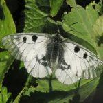 0d591387f112 150x150 Бабочки Кавказского заповедника