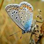 32cb384df496df4afb8df0ca002d72c3 150x150 Бабочки Кавказского заповедника