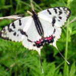 445523e73c9a 150x150 Бабочки Кавказского заповедника