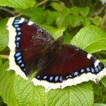 69695f379e33 150x150 Бабочки Кавказского заповедника
