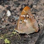 90 150x150 Бабочки Кавказского заповедника