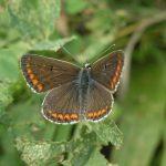 aricia agestis 150x150 Бабочки Кавказского заповедника