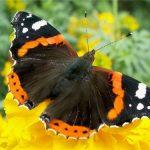 d44c327df324 150x150 Бабочки Кавказского заповедника
