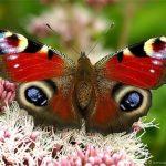 f1f27683b0b3 150x150 Бабочки Кавказского заповедника