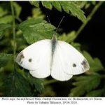 images 150x150 Бабочки Кавказского заповедника