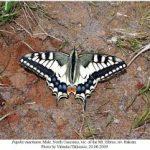 imgres 150x150 Бабочки Кавказского заповедника