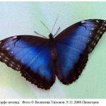 m peleides 150x150 Бабочки Кавказского заповедника