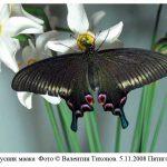 p maakcii 150x150 Бабочки Кавказского заповедника