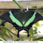 p palinurus 150x150 Бабочки Кавказского заповедника