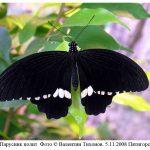 p polytes 150x150 Бабочки Кавказского заповедника