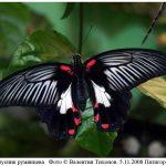 p rumanzovia 150x150 Бабочки Кавказского заповедника