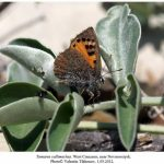 phoca thumb l tomares callimachus noworossiysk female 150x150 Бабочки Кавказского заповедника