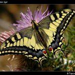 post 20560 1211308343 150x150 Бабочки Кавказского заповедника