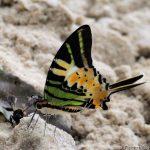 web 255283.big  150x150 Бабочки Кавказского заповедника