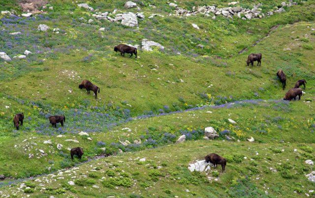 зубры 640x403 «Большая пятерка» животных Кавказского заповедника