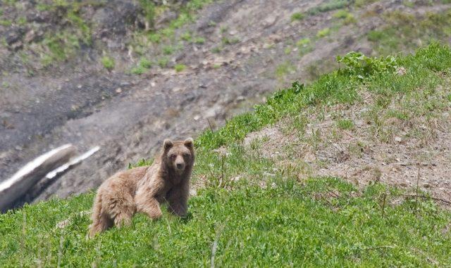 медведи 640x381 «Большая пятерка» животных Кавказского заповедника