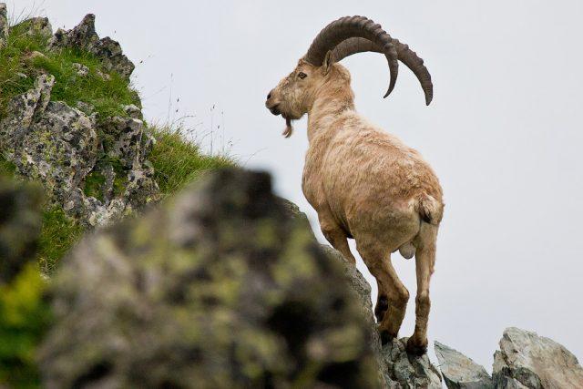 туры 1 640x427 «Большая пятерка» животных Кавказского заповедника