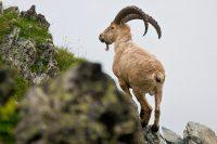 «Большая пятерка» животных Кавказского заповедника