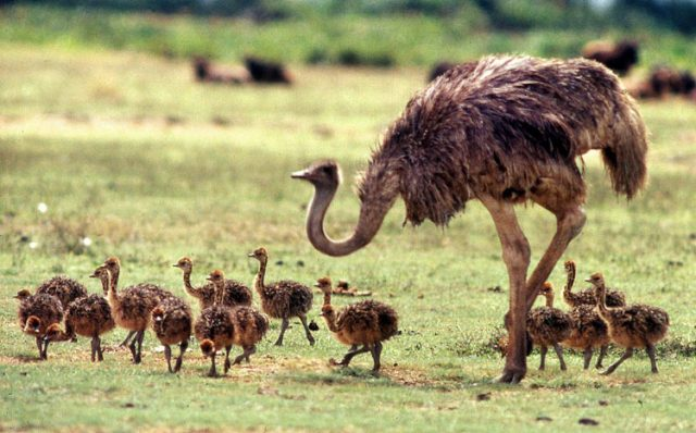 image0061 640x398 Африканский страус – самая большая птица планеты