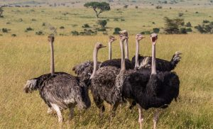 straus afrikanskij 5 300x182 африканский страус