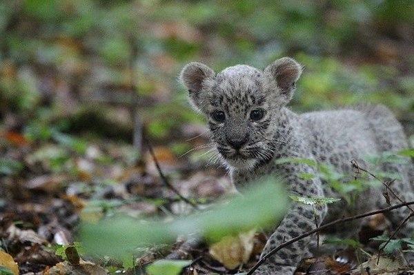 2254487129 Переднеазиатский леопард в Кавказском заповеднике
